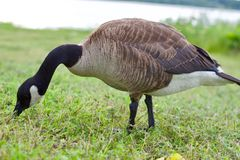 Beautiful Canada geese Royalty Free Stock Images