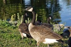 Beautiful Canadian Geese Stock Photos