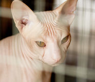 Beautiful canadian sphynx cat Royalty Free Stock Photo