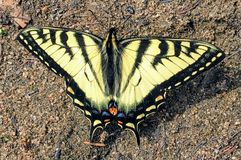 A beautiful Canadian Tiger Swallowtail, seen in Northern Alberta, Canada. stock photo
