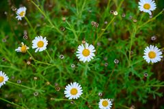 The Canary daisy. This Beautiful canary daisy is endemic at the canary islands royalty free stock photos
