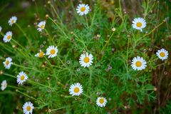 The Canary daisy. This beautiful canary daisy is endemic at the canary islands stock image