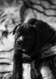 Beautiful Cane Corso breed puppy Royalty Free Stock Image