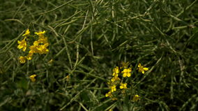 A beautiful canola field. Rapeseed field, Blooming canola flowers close up Rapeseed seed pods stock footage