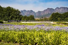 Beautiful cape lilies in magnific landscape of South Africa Royalty Free Stock Photo