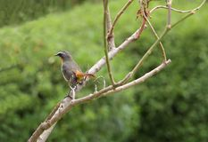 A beautiful Cape Robin-Chat bird, Kenya Stock Photo
