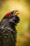 Beautiful capercaillie male on the colorful background. Nature beauty, european nature and animals stock photo