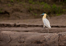 The beautiful Capped Heron Royalty Free Stock Images