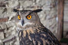 Beautiful captive owl. A photo of a captive owl Stock Photography