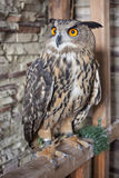 Beautiful captive owl. A photo of a captive owl Royalty Free Stock Photography
