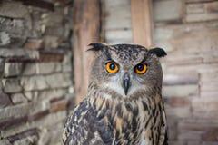 Beautiful captive owl. A photo of a captive owl Stock Photo