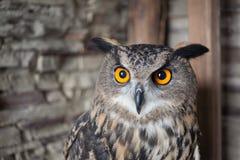 Beautiful captive owl Stock Photography