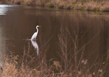 Great white heron, italy stock photography
