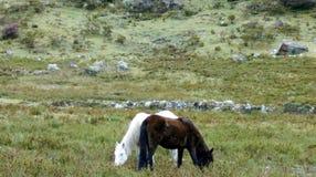 gemini horse pair stock image
