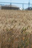 Wheat in the Wind Stock Photo