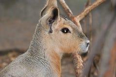 Beautiful Capybara Profile Up Close and Personal royalty free stock photography