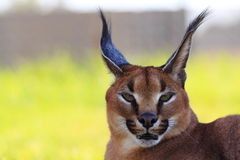 Beautiful caracal cat Royalty Free Stock Image