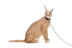 Beautiful caracal lynx isolated on white Stock Photography