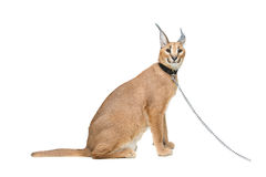 Beautiful caracal lynx isolated on white Royalty Free Stock Image
