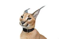 Beautiful caracal lynx isolated on white Royalty Free Stock Photos
