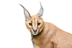 Beautiful caracal lynx isolated on white Royalty Free Stock Images
