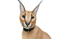 Beautiful caracal lynx isolated on white Royalty Free Stock Photography