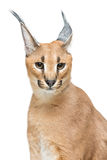 Beautiful caracal lynx isolated on white Stock Photo