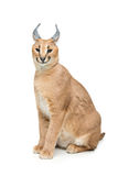 Beautiful caracal lynx isolated on white Stock Images