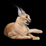 Beautiful caracal lynx over black background Stock Photography