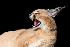 Beautiful caracal lynx over black background Royalty Free Stock Photography