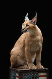 Beautiful caracal lynx over black background. Beautiful caracal lynx 6 months old kitten sitting on box with American flag print over black background. Studio Stock Photos