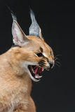 Beautiful caracal lynx over black background Stock Photos