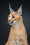 Beautiful caracal lynx over black background Royalty Free Stock Photos