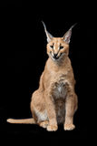 Beautiful caracal lynx over black background Royalty Free Stock Photo