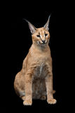 Beautiful caracal lynx over black background Stock Images