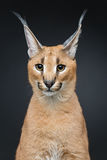 Beautiful caracal lynx over black background. Beautiful caracal lynx 6 months old kitten sitting on black background. Studio shot. Copy space Stock Images