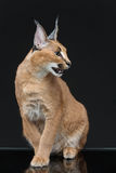 Beautiful caracal lynx over black background. Beautiful caracal lynx 6 months old kitten sitting on black background. Studio shot. Copy space Royalty Free Stock Photo