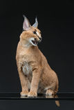 Beautiful caracal lynx over black background. Beautiful caracal lynx 6 months old kitten sitting on black background. Studio shot. Copy space Royalty Free Stock Image