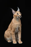 Beautiful caracal lynx over black background. Beautiful caracal lynx 6 months old kitten sitting on black background. Studio shot. Copy space Royalty Free Stock Photos
