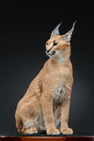 Beautiful caracal lynx over black background Royalty Free Stock Images