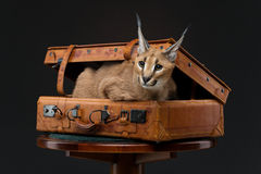 Beautiful caracal lynx over black background Stock Image