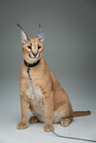 Beautiful caracal lynx sitting over grey background Royalty Free Stock Images
