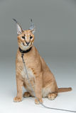 Beautiful caracal lynx sitting over grey background Stock Photo