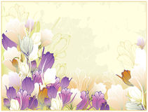 Beautiful card with crocuses Royalty Free Stock Image