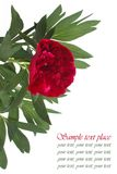 Beautiful card with peony flower on a white Stock Photos