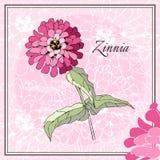 Beautiful card with pink zinnia flower. Stock Photos