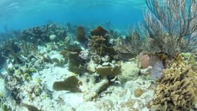 Beautiful Caribbean Coral Reef in Belize stock footage