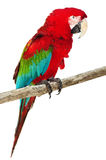 Beautiful Caribbean macaw Isolated on white Stock Photography