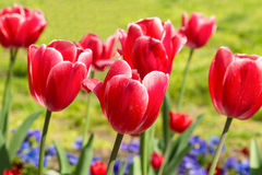 Beautiful Carmine with white border tulips lat. Tulipa with blue violets in spring garden Royalty Free Stock Photography