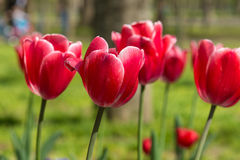 Beautiful Carmine with white border tulips lat. Tulipa in spring garden Stock Photography